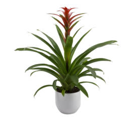 Guzmania avec pot de collection