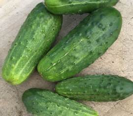 Cornichon National Pickling Biologique
