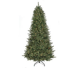 Sapin Royal Étroit 9' x 61