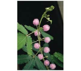 Mimosa pudica (sensitive)