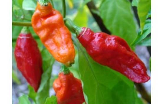 Piment Fort Bhut Jolokia