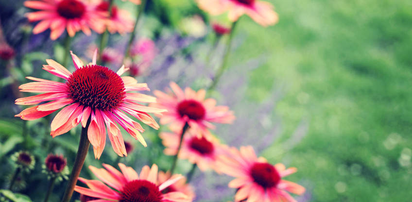 Vivaces floralies jouvence for Fleurs vivaces rustiques